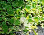 BULK BUY SPECIAL OFFER FLOATING POND PLANTS WATER LETTUCE X 50 CLEARANCE PRICE